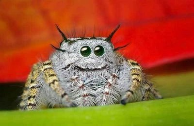 Jumping spider eyes 9
