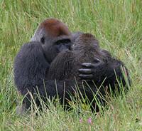 Gorillacopulationimage